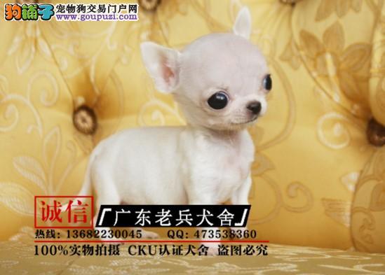 广东老兵犬舍 出售墨西哥纯种吉娃娃 质量三包