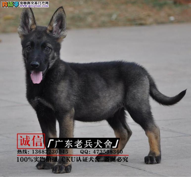 纯种昆明犬 欢迎实地选购 完美售后 可签协议