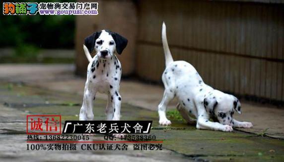 广东老兵犬舍 出售纯种斑点狗 完美售后 可签协议
