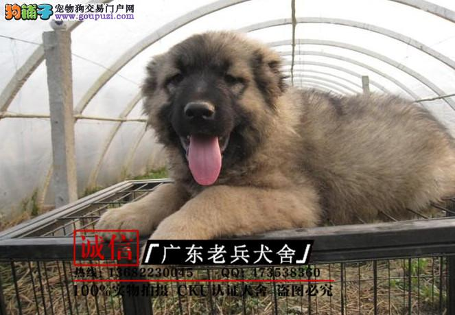 广东老兵犬舍 出售带血统高加索 质量三包 可签协议