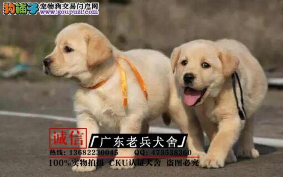 广东老兵犬舍 出售高品质拉布拉多 质量三包 可签协议