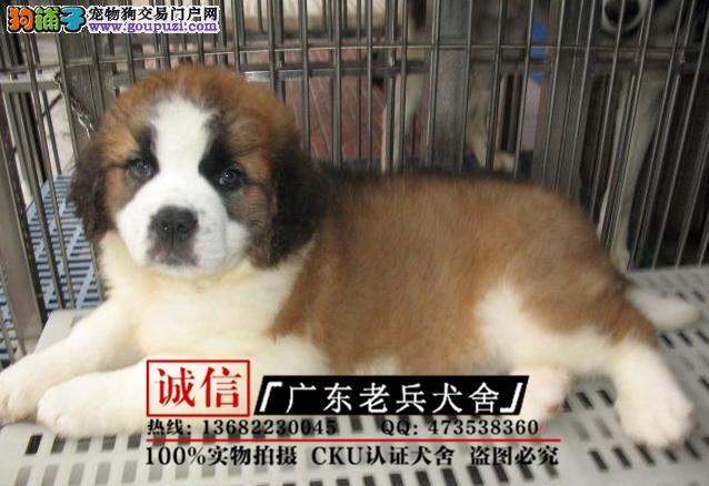 广东老兵犬舍 出售精品圣伯纳 质量三包 可签协议
