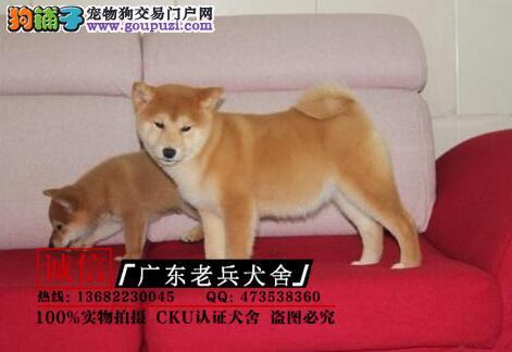 广东老兵犬舍 出售日系秋田犬 质量三包 可签协议