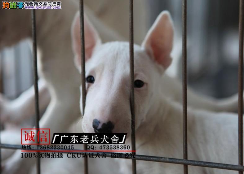 广东老兵犬舍 出售纯种牛头梗 签协议健康有保障