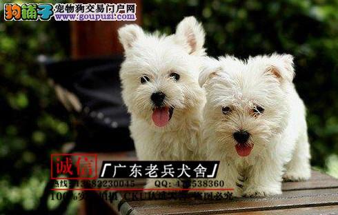 广东老兵犬舍 出售精品西高地 质量三包 可签协议