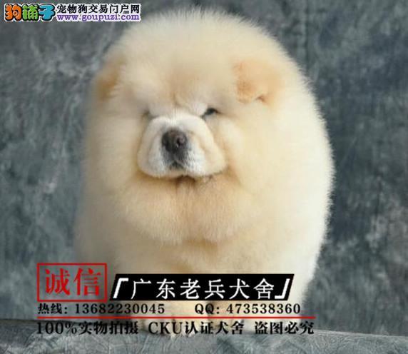 广东老兵犬舍 出售极品松狮犬 保纯保健康