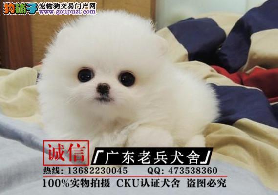 广东老兵犬舍 出售纯种哈多利小体博美 可签协议
