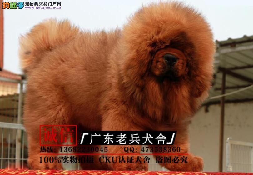 广东老兵犬舍 出售大狮头长毛藏獒 保纯保健康