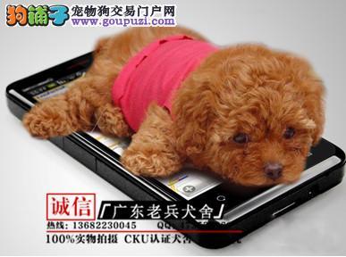 广东老兵犬舍 出售韩国纯种引进小体茶杯犬