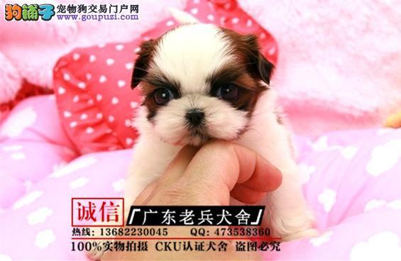 广东老兵犬舍 出售精品西施 可签协议