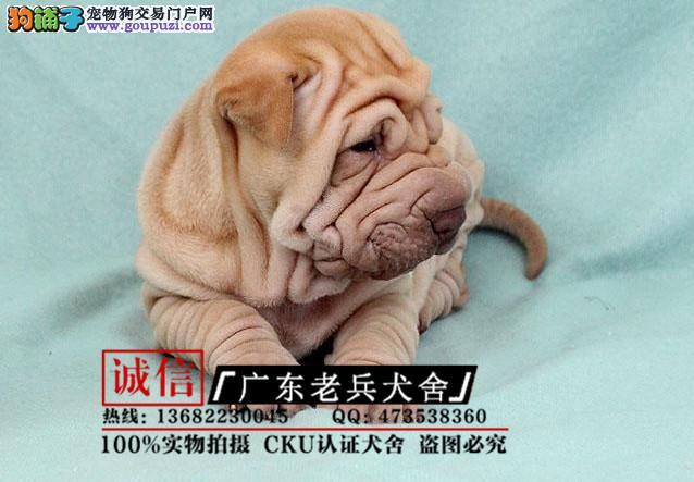 高品质沙皮幼犬出售了 疫苗做完 质量三包