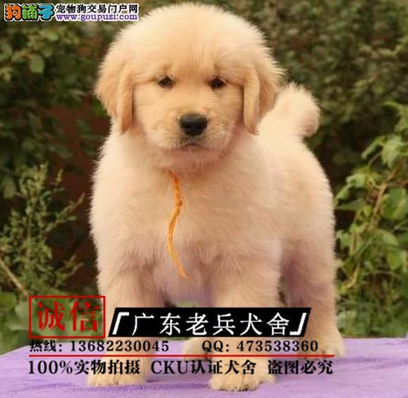 广东老兵犬舍 出售高品质金毛幼犬 完美售后