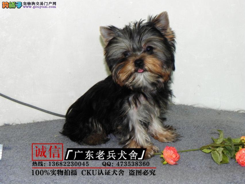 广东老兵犬舍 出售精品约克夏幼犬 纯种健康 可签协议