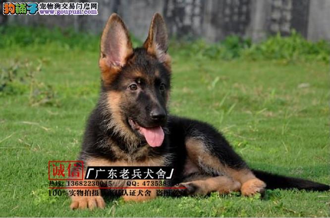 广东老兵犬舍 出售精品德国牧羊犬 完美售后
