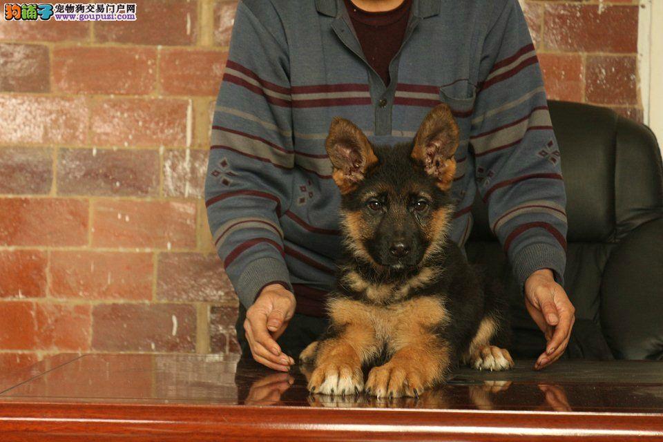 狼狗出售 疫苗三针驱虫两次 包品质健康