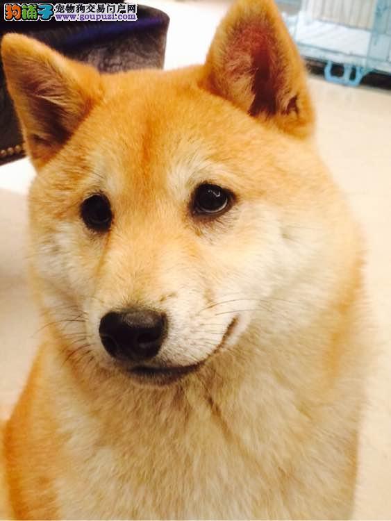 郑州自家繁殖的纯种柴犬找主人假一赔万签活体协议