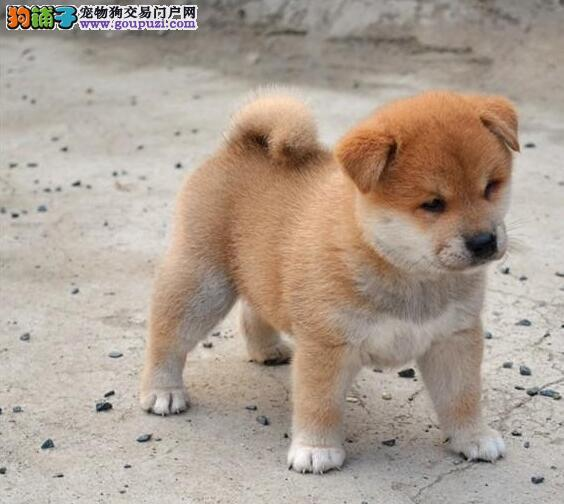 100%纯种健康的沈阳柴犬出售喜欢它的快来