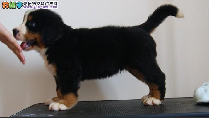 伯恩山济南最大的正规犬舍完美售后质保三年支持送货上门