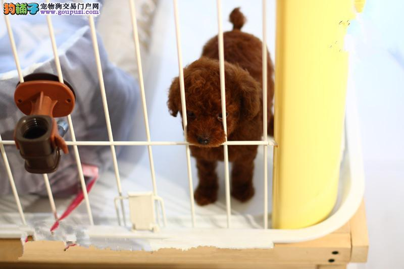伯恩山犬 伯恩山犬哪里有卖 泰迪犬在长沙多少钱