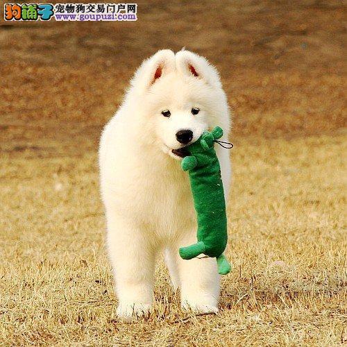 大白熊犬一一长沙哪卖大白熊犬 大白熊幼犬出售