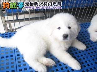 纯种大白熊犬、保证纯种健康 、终身质保、饲养指导