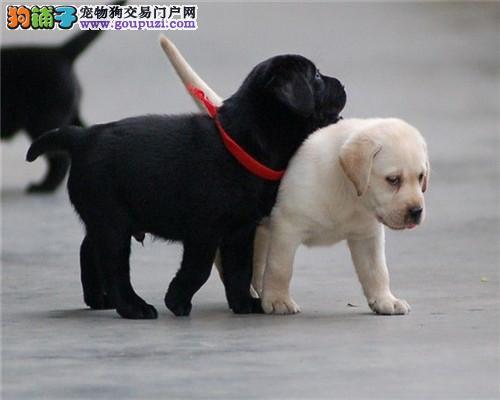 今天付款包邮、神犬小七、拉布拉多幼犬、导盲犬伴侣犬
