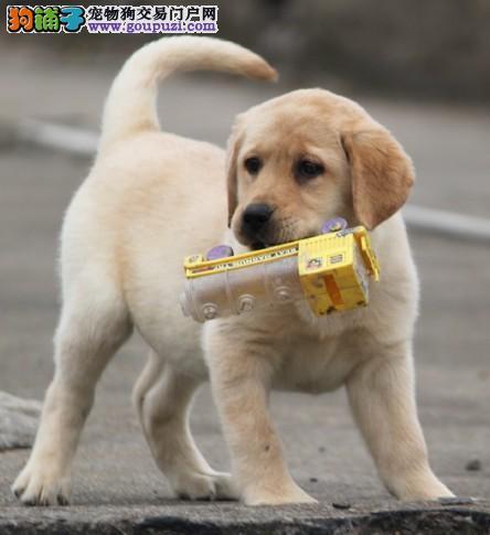 沈阳哪里有拉布拉多犬出售 纯种的拉布拉多犬多少钱