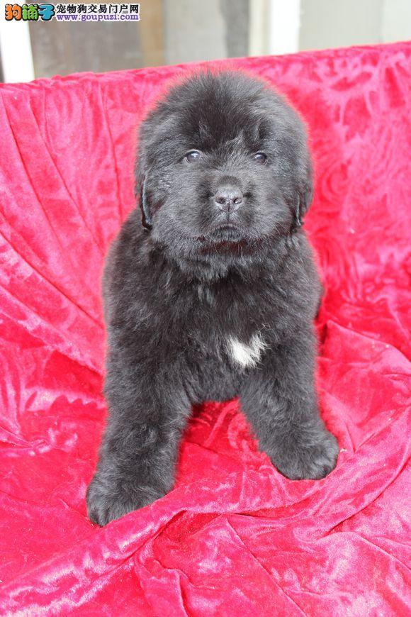 国外引进纯纽芬兰犬 可办理血统证书 签订正规合同