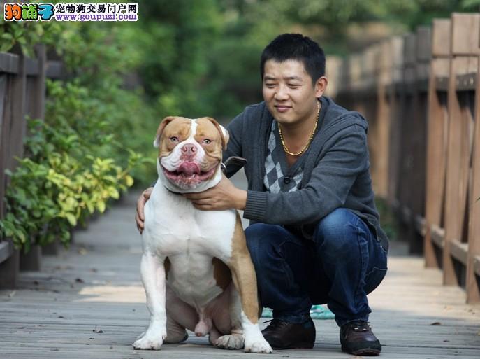 犬舍直销品种纯正健康杭州美国斗牛犬喜欢它的快来