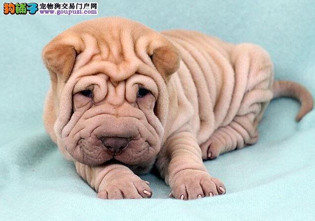 超可爱的沙皮幼犬 适应能力强 血统纯正聪明健康