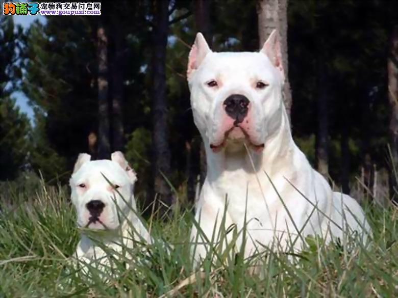 正规犬舍直销杜高犬保证纯种健康 疫苗全 喂养指导