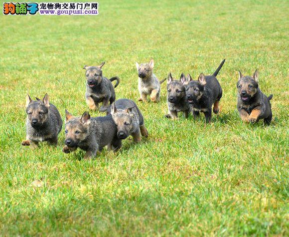 颜色全品相佳的昆明犬纯种宝宝热卖中可签订活体销售协议