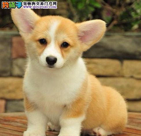 正规犬舍精品活泼纯种柯基犬幼犬出售健康疫苗全