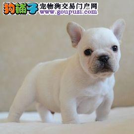北京法斗犬舍出售高端血统法国斗牛犬幼犬法斗法牛幼犬