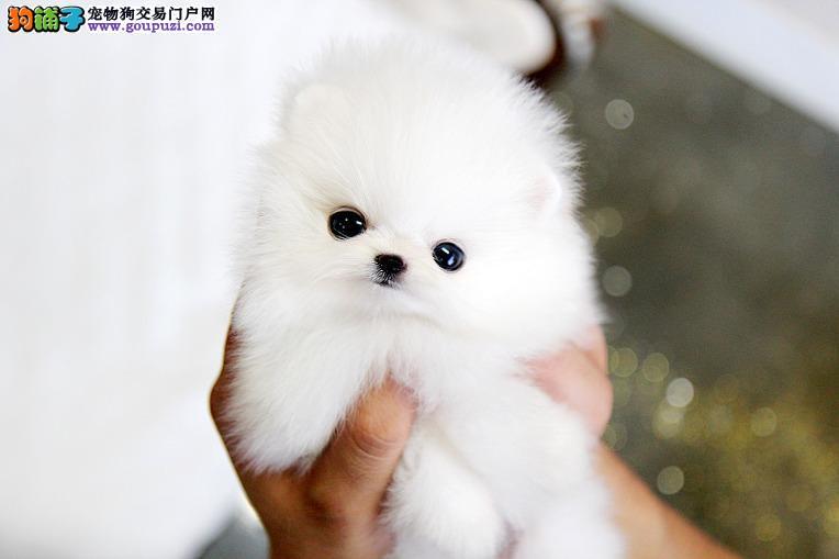 茶杯狗最小型狗茶杯袖珍 长不大的茶杯狗