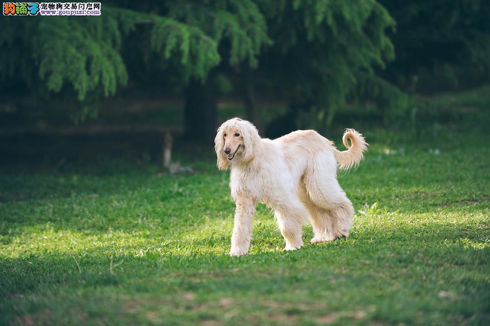 顶级优秀的纯种阿富汗猎犬绍兴热卖中终身售后协议
