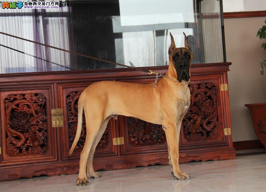 出售大丹犬宝宝、CKU认证品质、专业信誉服务