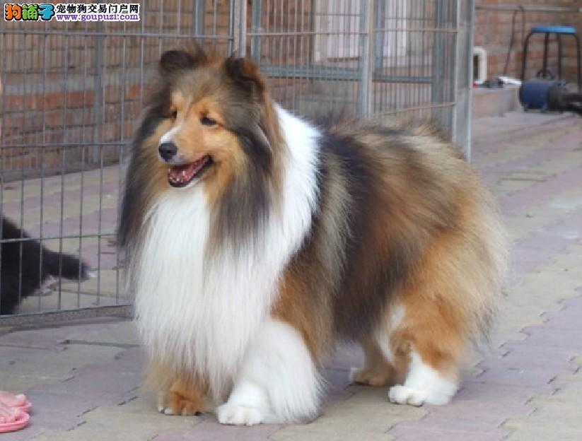中山哪里有卖喜乐蒂犬 中山纯种喜乐蒂犬哪里有卖