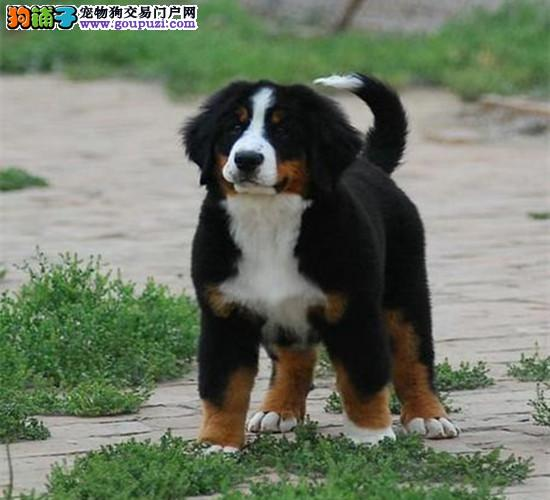 纯种伯恩山幼犬、温顺勇敢的大狗、家庭伴侣犬工作犬!