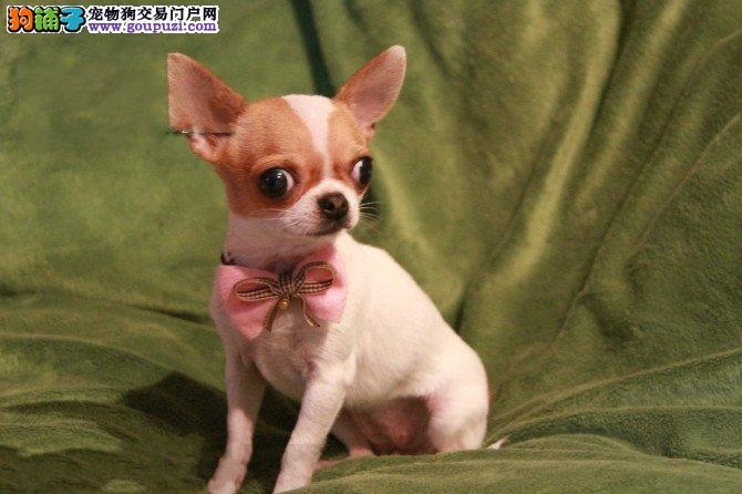 极品苹果头吉娃娃、保证纯种和健康、CKU认证犬业