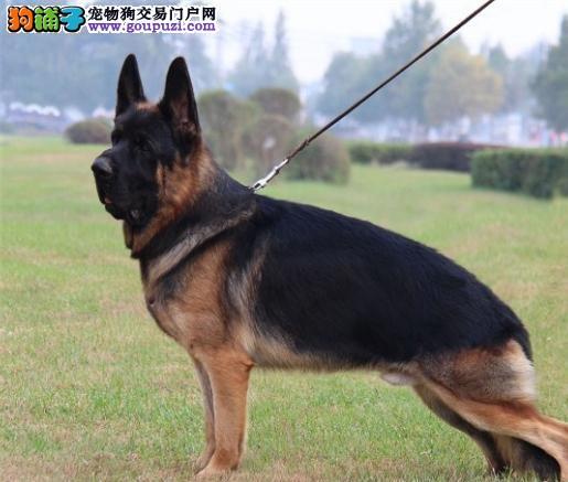 怀化养殖场直销完美品相的昆明犬带血统证书签活体协议
