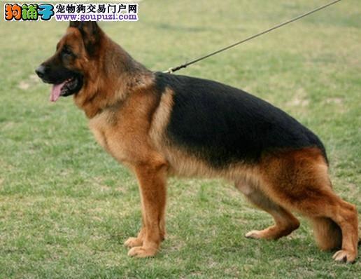 出售昆明犬幼犬,公母均有多只选择,签协议可送货