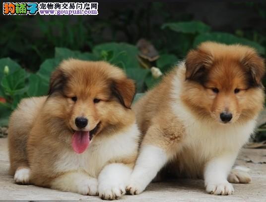 CKU犬舍认证出售纯种喜乐蒂狗贩子请勿扰
