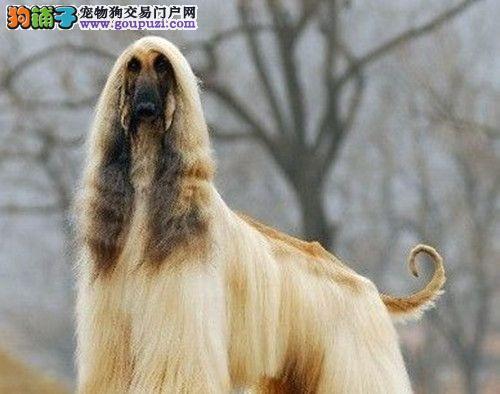 养殖场直销完美品相的阿富汗猎犬签署各项质保合同