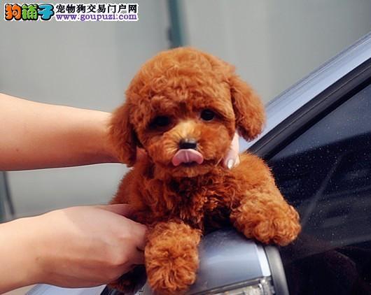 北京最大的泰迪犬基地出售超萌韩系小体泰迪 完美售后