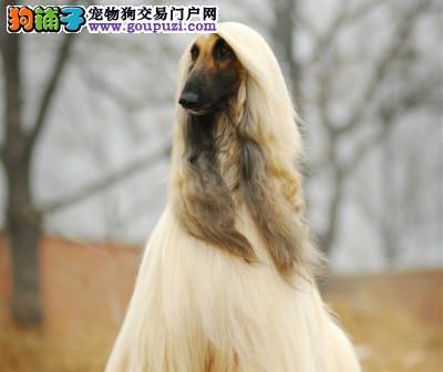 多种颜色的赛级阿富汗猎犬幼犬寻找主人欢迎爱狗人士上门选购