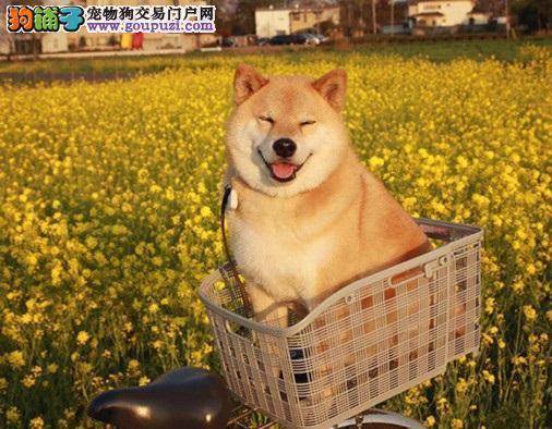 日本柴犬宝宝精品来袭!犬舍直销可上门选购可发货到家