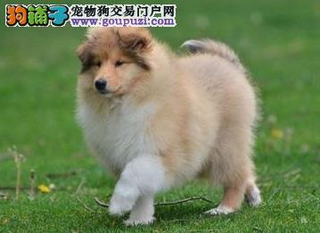 低价出售纯种苏牧宝宝!!!!!!