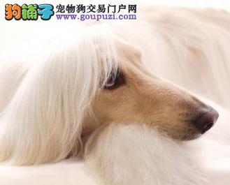 正宗极品阿富汗猎犬绝对血统纯正均有三证保障