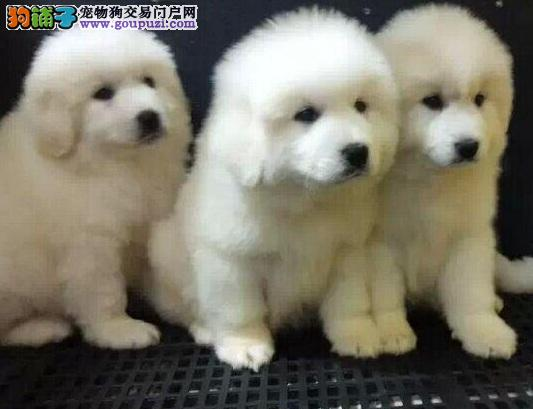 高品质纯种大白熊幼犬,血统正宗健康可爱,疫苗已做